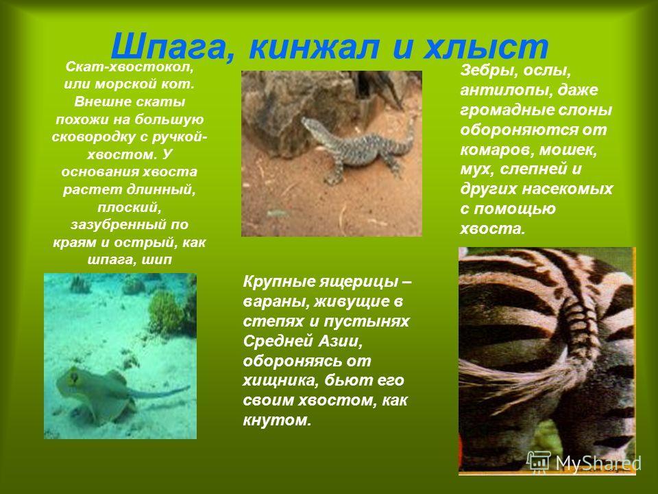 Шпага, кинжал и хлыст Скат-хвостокол, или морской кот. Внешне скаты похожи на большую сковородку с ручкой- хвостом. У основания хвоста растет длинный, плоский, зазубренный по краям и острый, как шпага, шип Крупные ящерицы – вараны, живущие в степях и
