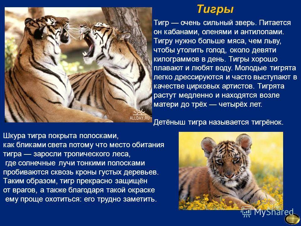 Тигр очень сильный зверь. Питается он кабанами, оленями и антилопами. Тигру нужно больше мяса, чем льву, чтобы утолить голод, около девяти килограммов в день. Тигры хорошо плавают и любят воду. Молодые тигрята легко дрессируются и часто выступают в к