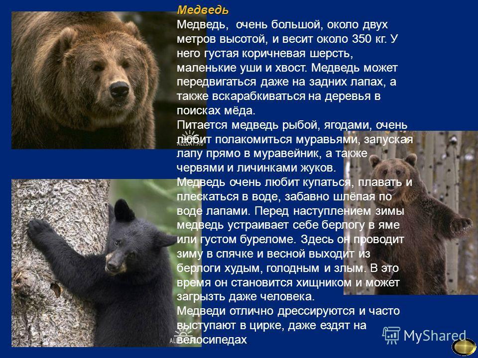 Медведь Медведь, очень большой, около двух метров высотой, и весит около 350 кг. У него густая коричневая шерсть, маленькие уши и хвост. Медведь может передвигаться даже на задних лапах, а также вскарабкиваться на деревья в поисках мёда. Питается мед