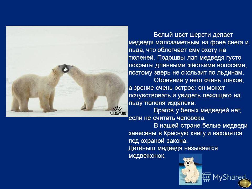 Белый цвет шерсти делает медведя малозаметным на фоне снега и льда, что облегчает ему охоту на тюленей. Подошвы лап медведя густо покрыты длинными жёсткими волосами, поэтому зверь не скользит по льдинам. Обоняние у него очень тонкое, а зрение очень