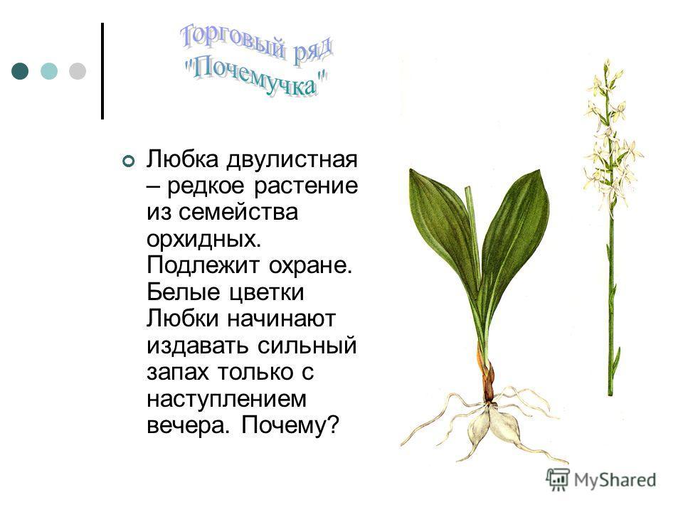 Любка двулистная – редкое растение из семейства орхидных. Подлежит охране. Белые цветки Любки начинают издавать сильный запах только с наступлением вечера. Почему?