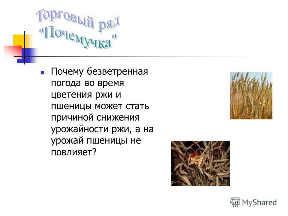Почему безветренная погода во время цветения ржи и пшеницы может стать причиной снижения урожайности ржи, а на урожай пшеницы не повлияет?