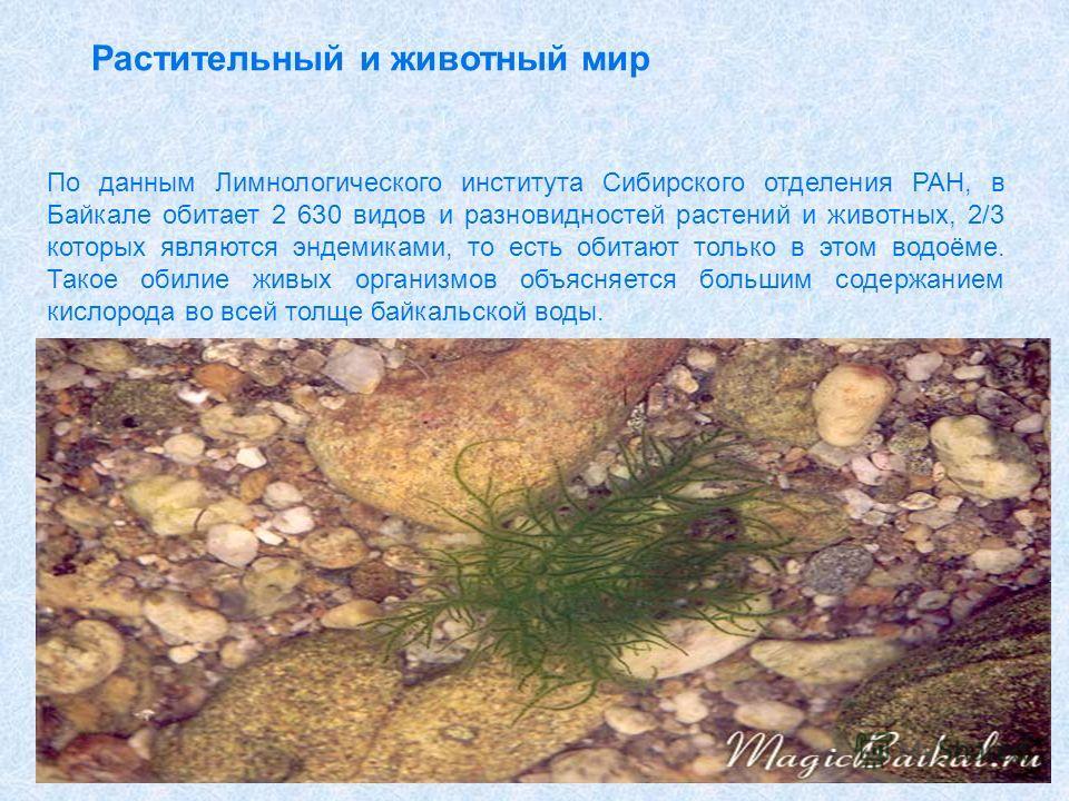 Растительный и животный мир По данным Лимнологического института Сибирского отделения РАН, в Байкале обитает 2 630 видов и разновидностей растений и животных, 2/3 которых являются эндемиками, то есть обитают только в этом водоёме. Такое обилие живых