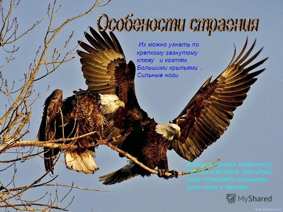 Их можно узнать по крепкому загнутому клюву и когтям. Большими крыльями. Сильные ноги Большие крылья позволяют парить в воздухе.Загнутый клюв позволяет отрывать куски мяса с жертвы