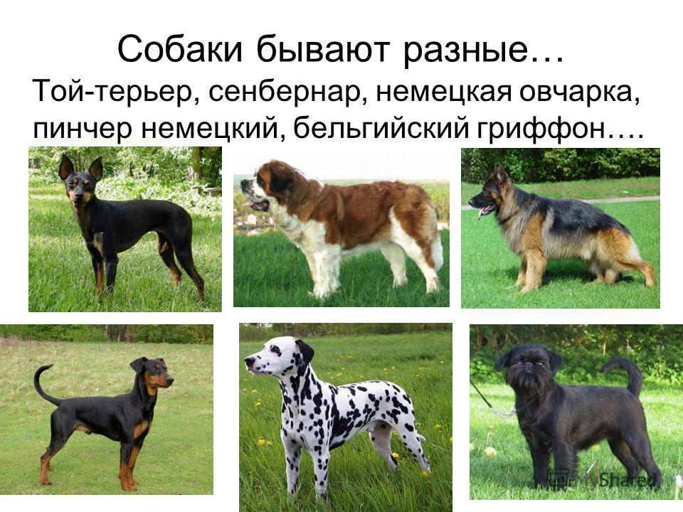 Собаки бывают разные… Той-терьер, сенбернар, немецкая овчарка, пинчер немецкий, бельгийский гриффон….