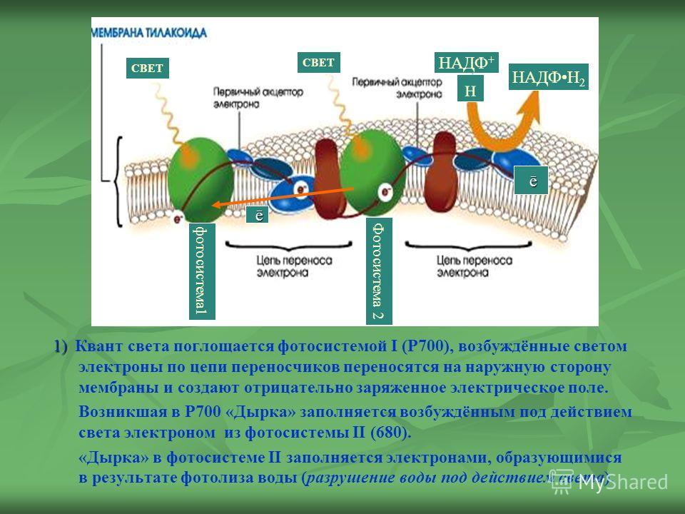 1) 1) Квант света поглощается фотосистемой I (Р700), возбуждённые светом электроны по цепи переносчиков переносятся на наружную сторону мембраны и создают отрицательно заряженное электрическое поле. Возникшая в Р700 «Дырка» заполняется возбуждённым п
