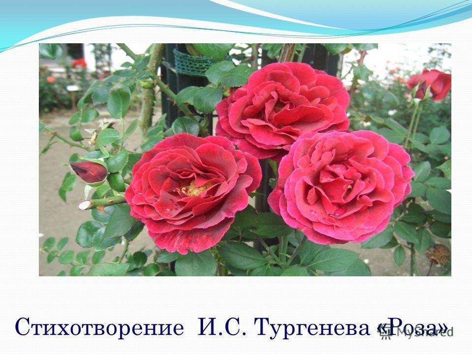 Стихотворение И.С. Тургенева «Роза»