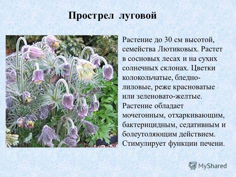 Прострел луговой Растение до 30 см высотой, семейства Лютиковых. Растет в сосновых лесах и на сухих солнечных склонах. Цветки колокольчатые, бледно- лиловые, реже красноватые или зеленовато-желтые. Растение обладает мочегонным, отхаркивающим, бактери