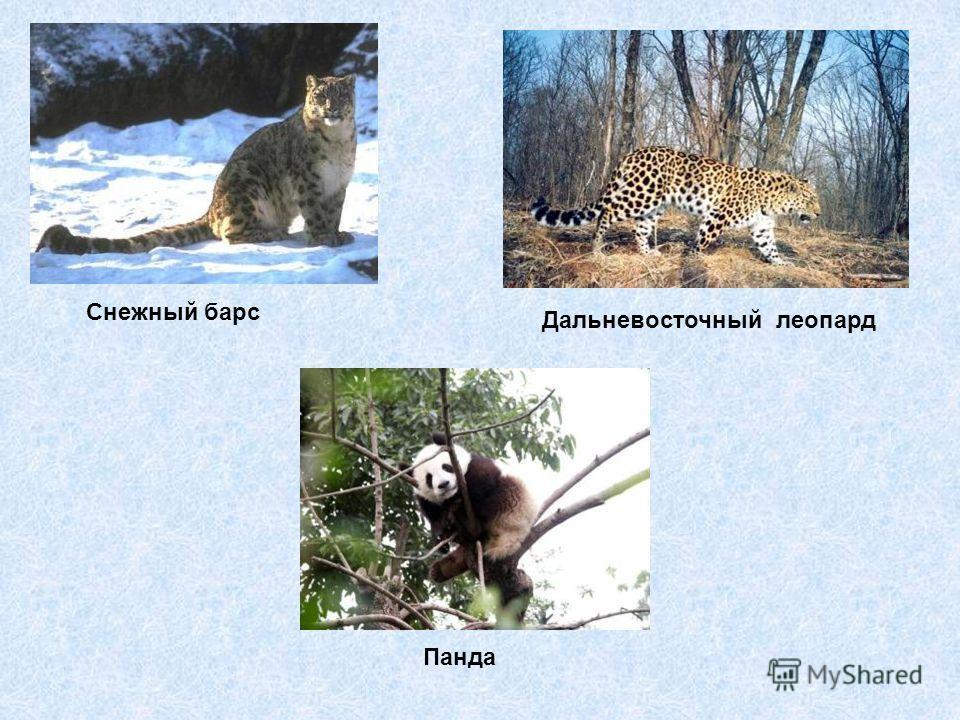 Снежный барс Дальневосточный леопард Панда