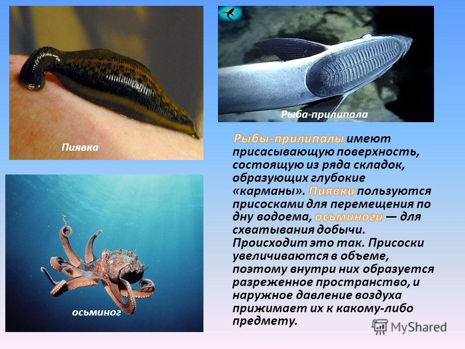 Пиявка осьминог Рыба-прилипала