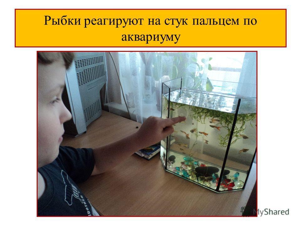 Рыбки реагируют на стук пальцем по аквариуму