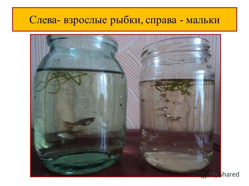 Слева- взрослые рыбки, справа - мальки