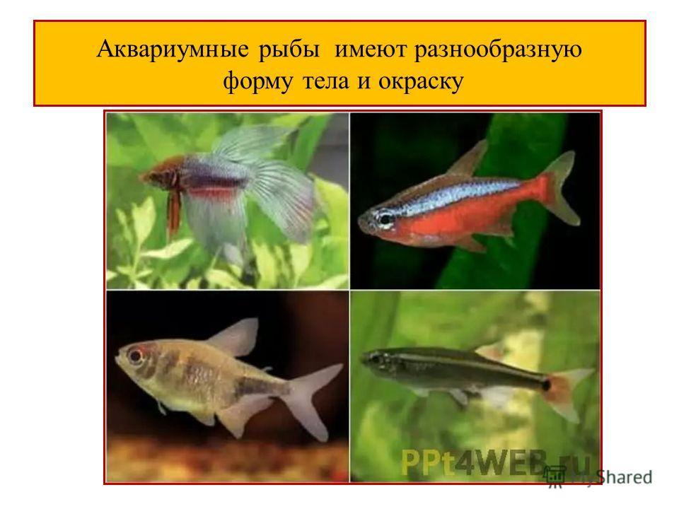 Аквариумные рыбы имеют разнообразную форму тела и окраску