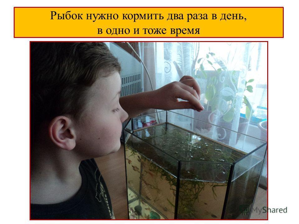 Рыбок нужно кормить два раза в день, в одно и тоже время