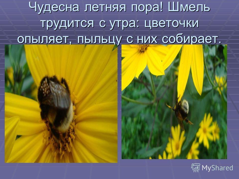 Чудесна летняя пора! Шмель трудится с утра: цветочки опыляет, пыльцу с них собирает.