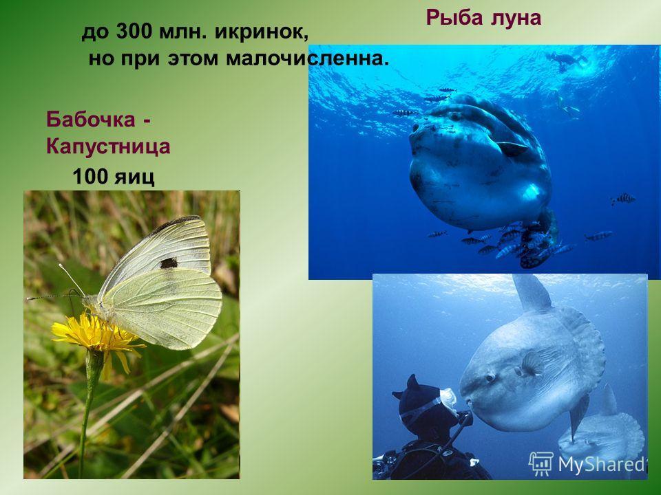100 яиц до 300 млн. икринок, но при этом малочисленна. Рыба луна Бабочка - Капустница