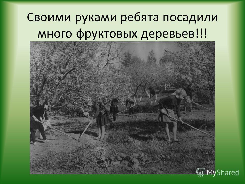 Своими руками ребята посадили много фруктовых деревьев!!!