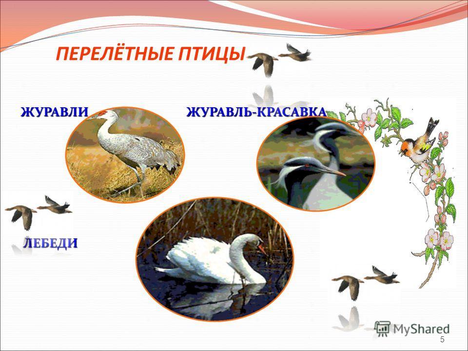 ПЕРЕЛЁТНЫЕ ПТИЦЫ ЖУРАВЛИ ЖУРАВЛЬ-КРАСАВКА ЛЕБЕДИ ЛЕБЕДИ 5