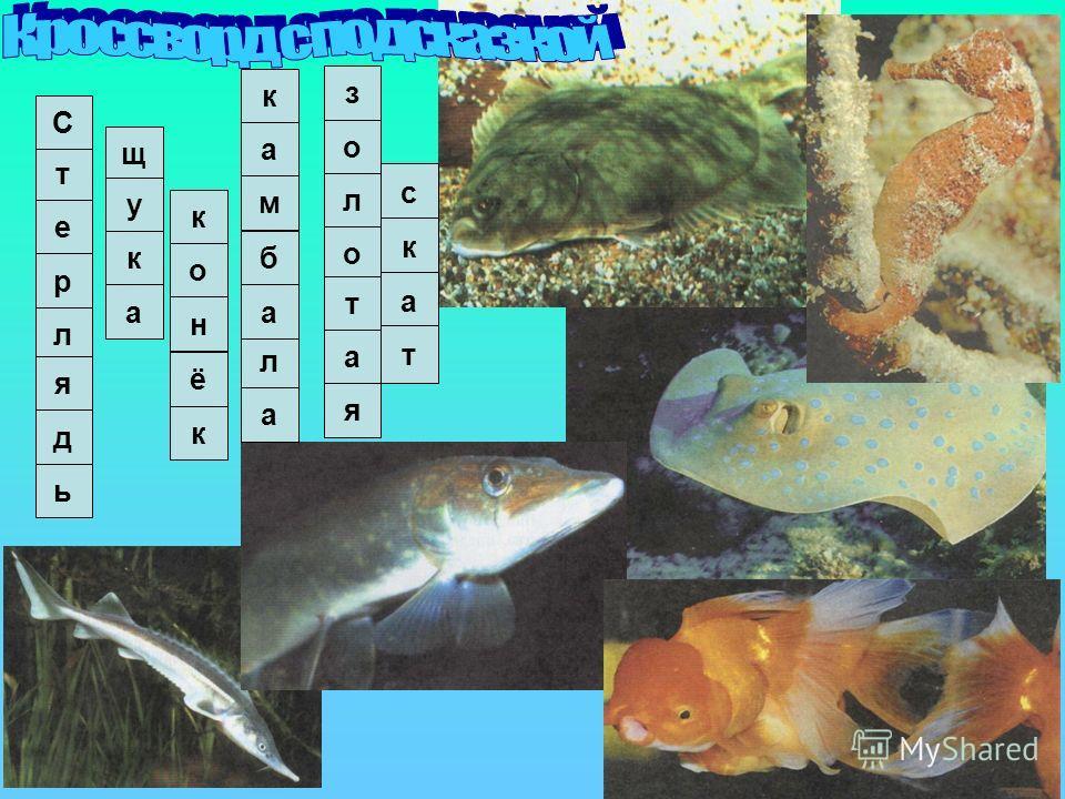 1.Можно ли играть в футбол сушёной рыбой? 2. Сила сжатия челюстей этой рыбы – 18 тонн. Они с лёгкостью перекусывают Дельфина и морскую черепаху Почему у рыб, поднятых с больших глубин, раздуты животы и выпучены глаза? Из-за большого давления, которое