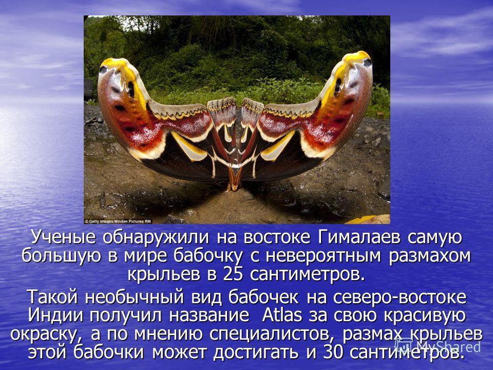 Ученые обнаружили на востоке Гималаев самую большую в мире бабочку с невероятным размахом крыльев в 25 сантиметров. Такой необычный вид бабочек на северо-востоке Индии получил название Atlas за свою красивую окраску, а по мнению специалистов, размах