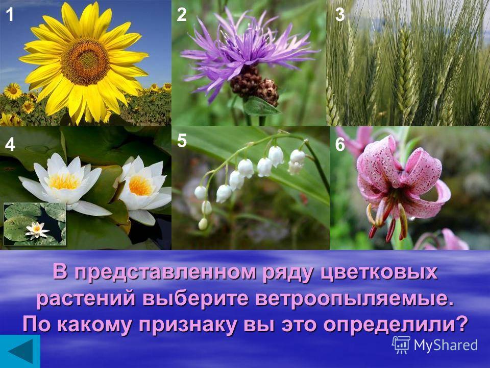Существует легенда, что папоротник цветет один раз, в ночь на Ивана Купала, и может указать, где находится клад. Почему это не может быть правдой?