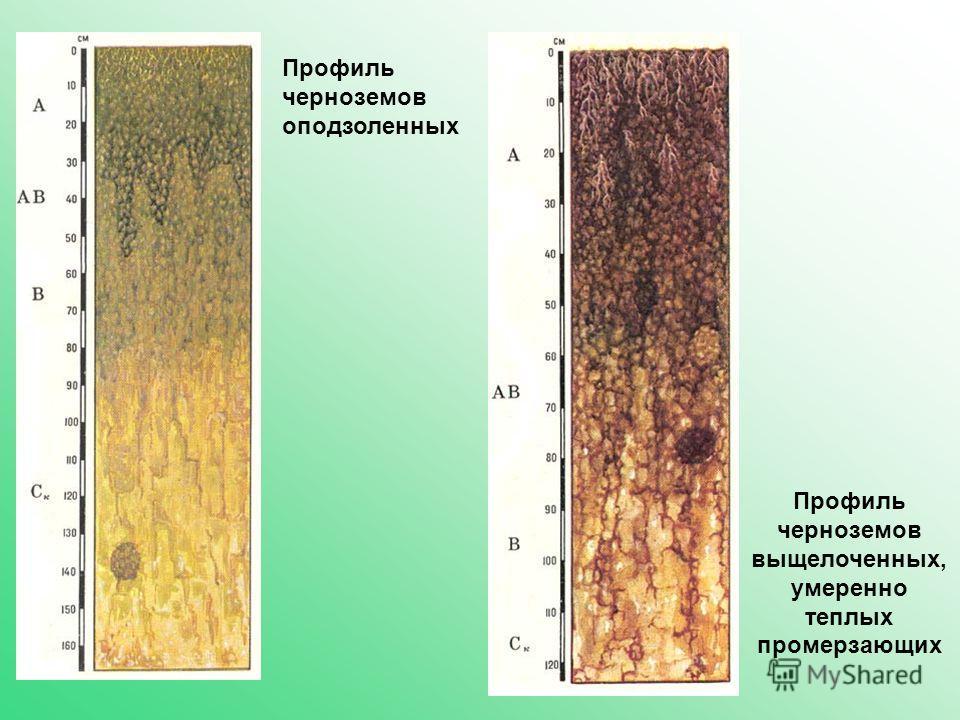 Профиль черноземов оподзоленных Профиль черноземов выщелоченных, умеренно теплых промерзающих