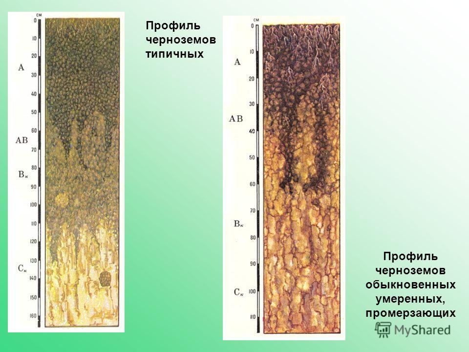 Профиль черноземов типичных Профиль черноземов обыкновенных умеренных, промерзающих