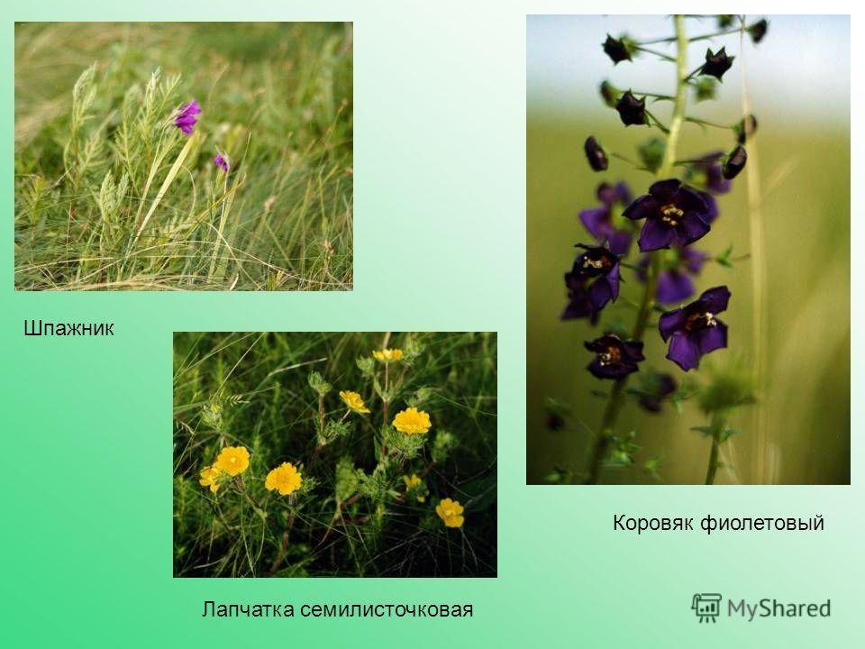 Коровяк фиолетовый Лапчатка семилисточковая Шпажник