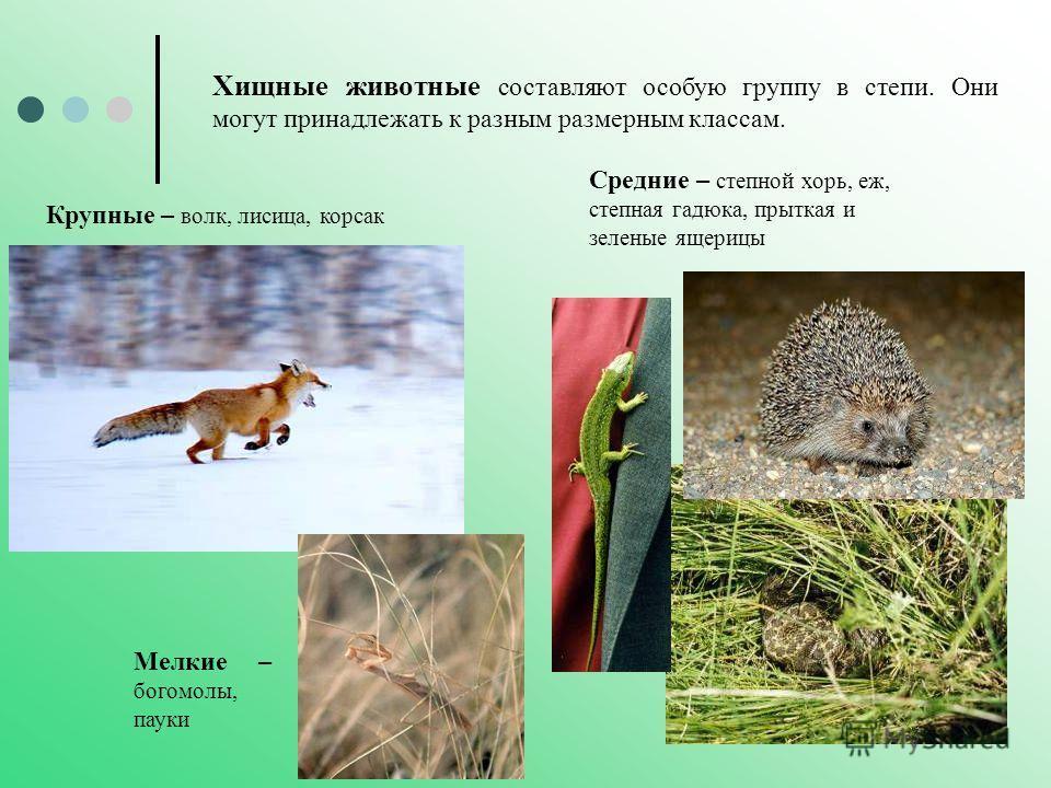 Хищные животные составляют особую группу в степи. Они могут принадлежать к разным размерным классам. Крупные – волк, лисица, корсак Мелкие – богомолы, пауки Средние – степной хорь, еж, степная гадюка, прыткая и зеленые ящерицы