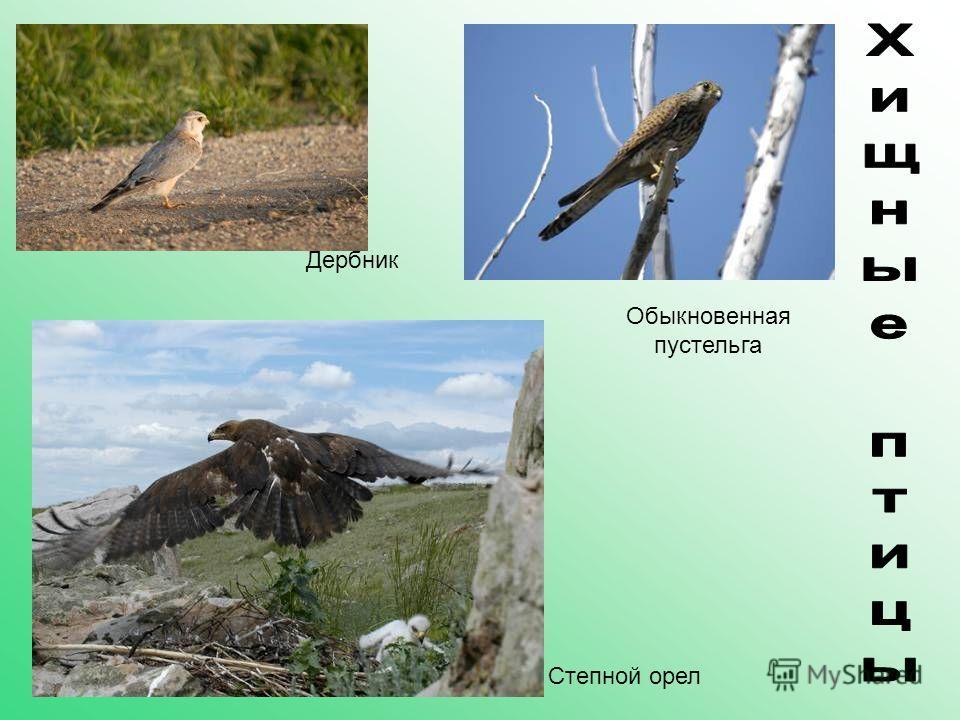 Дербник Степной орел Обыкновенная пустельга