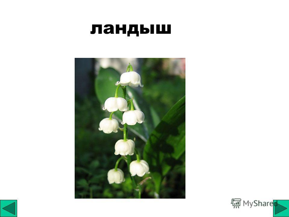 Особенности цветка лилейных Околоцветник простой ( не подразделяется на чашечку и венчик); Цветки правильные, обоеполые; Количество частей цветка в каждом круге кратно трем.