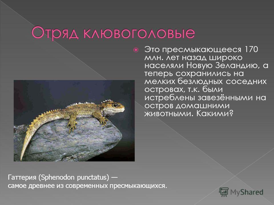 Это пресмыкающееся 170 млн. лет назад широко населяли Новую Зеландию, а теперь сохранились на мелких безлюдных соседних островах, т.к. были истреблены завезёнными на остров домашними животными. Какими? Гаттерия (Sphenodon punctatus) самое древнее из