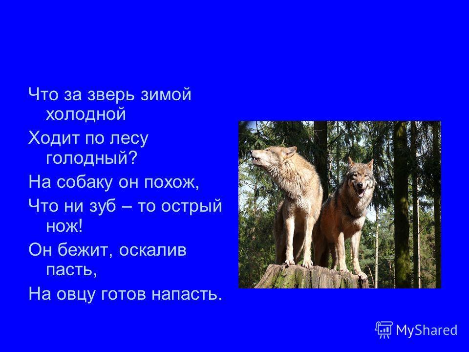 Что за зверь зимой холодной Ходит по лесу голодный? На собаку он похож, Что ни зуб – то острый нож! Он бежит, оскалив пасть, На овцу готов напасть.