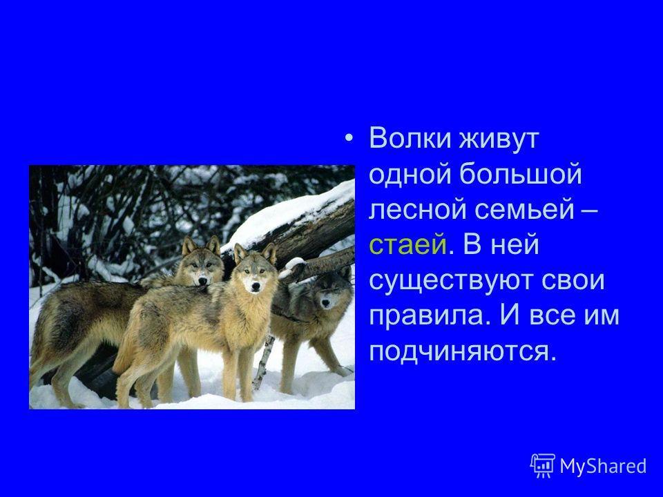 Волки живут одной большой лесной семьей – стаей. В ней существуют свои правила. И все им подчиняются.