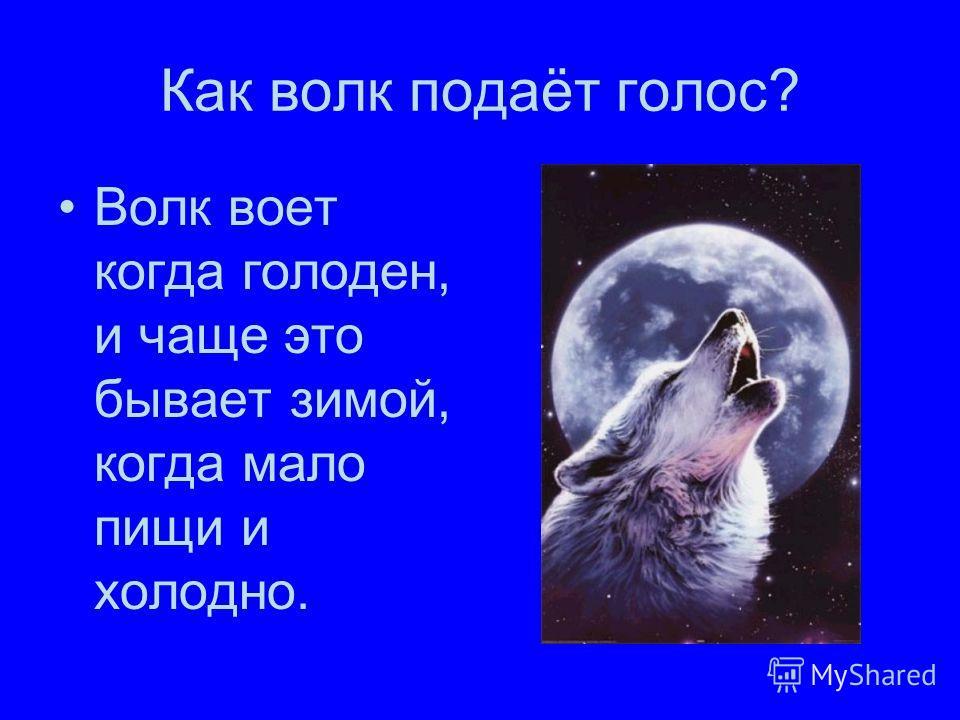Как волк подаёт голос? Волк воет когда голоден, и чаще это бывает зимой, когда мало пищи и холодно.