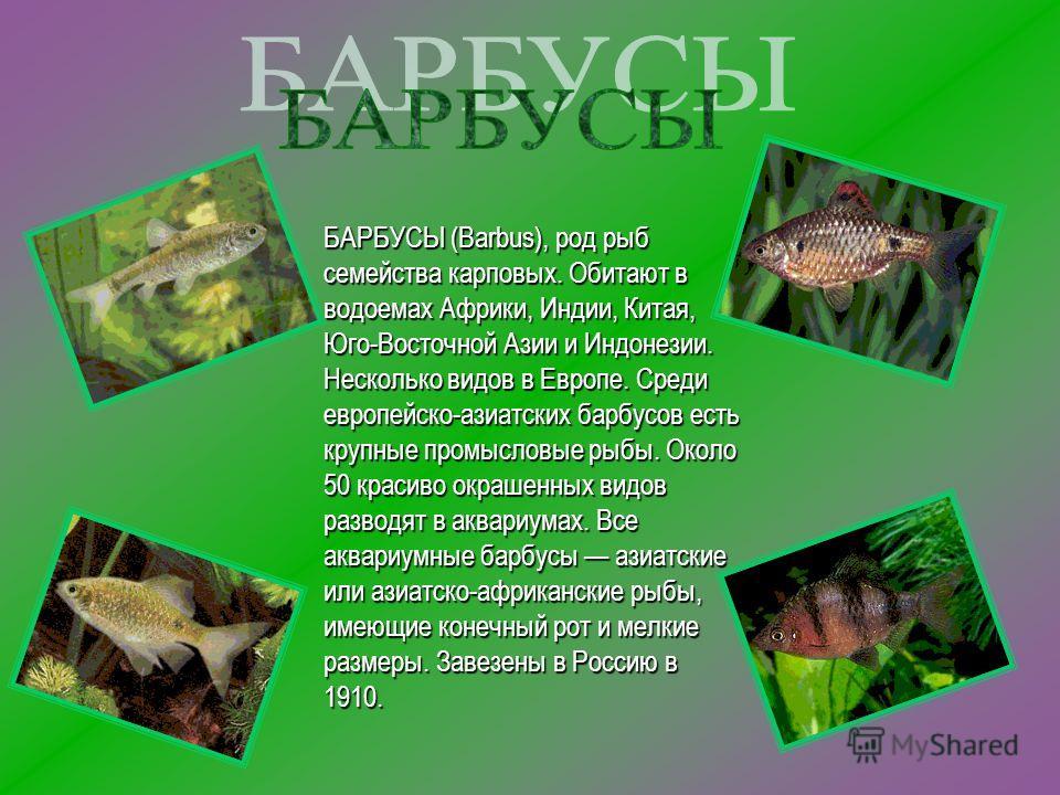 БАРБУСЫ (Barbus), род рыб семейства карповых. Обитают в водоемах Африки, Индии, Китая, Юго-Восточной Азии и Индонезии. Несколько видов в Европе. Среди европейско-азиатских барбусов есть крупные промысловые рыбы. Около 50 красиво окрашенных видов разв