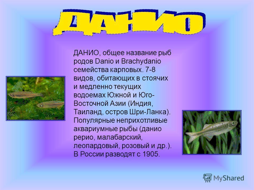 ДАНИО, общее название рыб родов Danio и Brachydanio семейства карповых. 7-8 видов, обитающих в стоячих и медленно текущих водоемах Южной и Юго- Восточной Азии (Индия, Таиланд, остров Шри-Ланка). Популярные неприхотливые аквариумные рыбы (данио рерио,