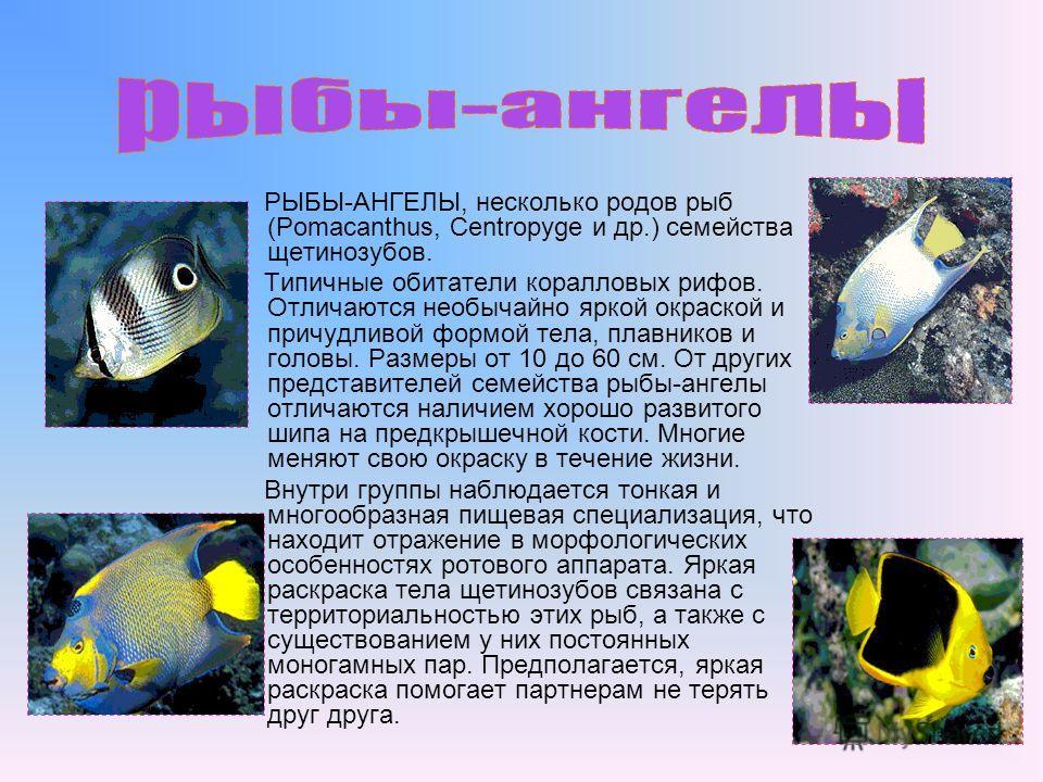 РЫБЫ-АНГЕЛЫ, несколько родов рыб (Pomacanthus, Centropyge и др.) семейства щетинозубов. Типичные обитатели коралловых рифов. Отличаются необычайно яркой окраской и причудливой формой тела, плавников и головы. Размеры от 10 до 60 см. От других предста