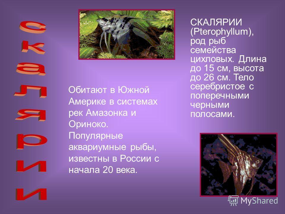 Обитают в Южной Америке в системах рек Амазонка и Ориноко. Популярные аквариумные рыбы, известны в России с начала 20 века. СКАЛЯРИИ (Pterophyllum), род рыб семейства цихловых. Длина до 15 см, высота до 26 см. Тело серебристое с поперечными черными п