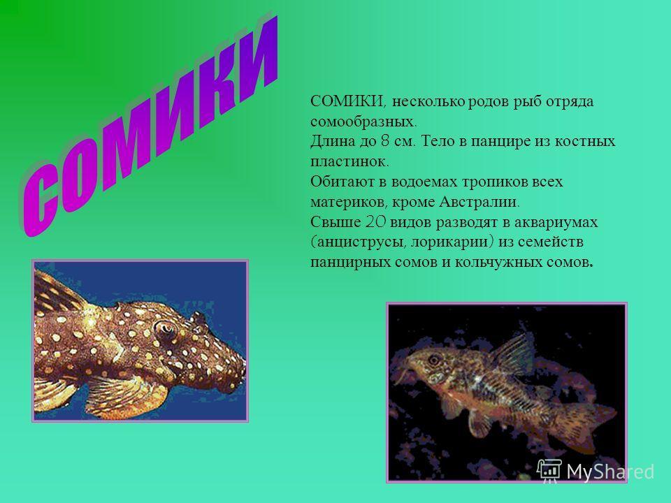 СОМИКИ, несколько родов рыб отряда сомообразных. Длина до 8 см. Тело в панцире из костных пластинок. Обитают в водоемах тропиков всех материков, кроме Австралии. Свыше 20 видов разводят в аквариумах (анциструсы, лорикарии) из семейств панцирных сомов