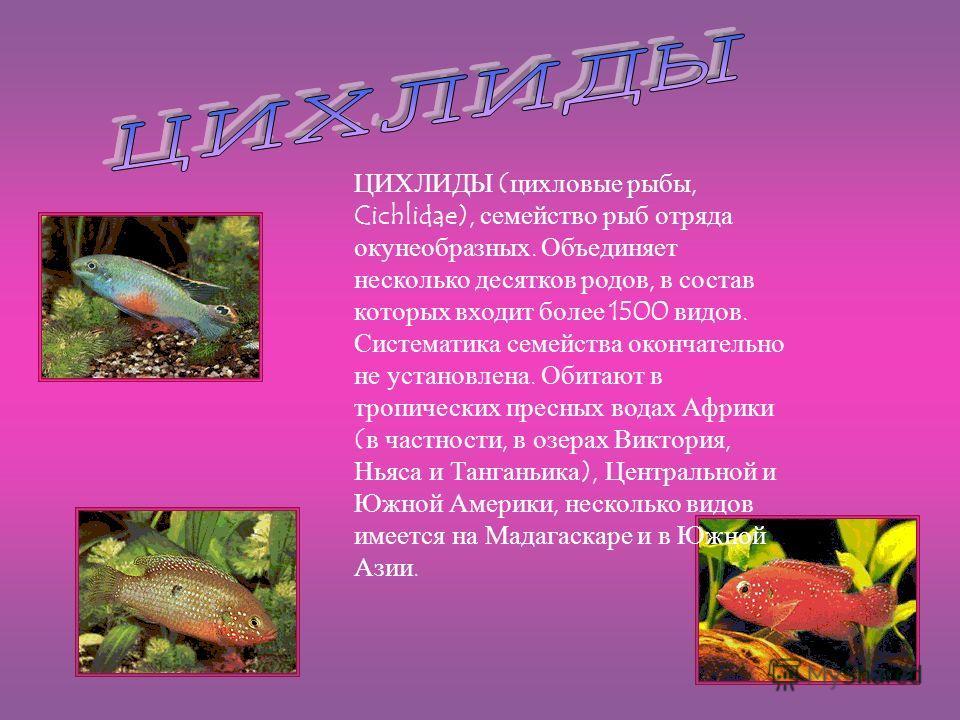 ЦИХЛИДЫ (цихловые рыбы, Cichlidae), семейство рыб отряда окунеобразных. Объединяет несколько десятков родов, в состав которых входит более 1500 видов. Систематика семейства окончательно не установлена. Обитают в тропических пресных водах Африки (в ча
