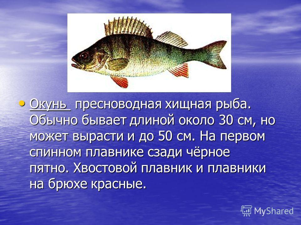 Окунь пресноводная хищная рыба. Обычно бывает длиной около 30 см, но может вырасти и до 50 см. На первом спинном плавнике сзади чёрное пятно. Хвостовой плавник и плавники на брюхе красные. Окунь пресноводная хищная рыба. Обычно бывает длиной около 30