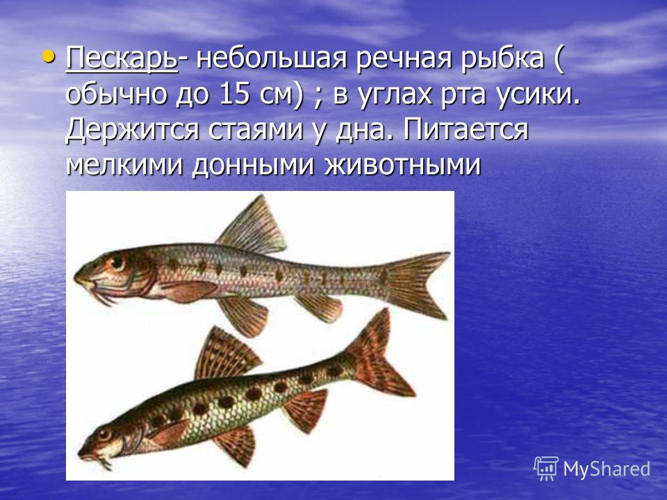 Пескарь- небольшая речная рыбка ( обычно до 15 см) ; в углах рта усики. Держится стаями у дна. Питается мелкими донными животными Пескарь- небольшая речная рыбка ( обычно до 15 см) ; в углах рта усики. Держится стаями у дна. Питается мелкими донными