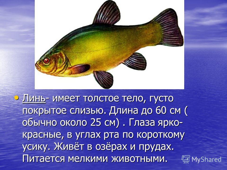Линь- имеет толстое тело, густо покрытое слизью. Длина до 60 см ( обычно около 25 см). Глаза ярко- красные, в углах рта по короткому усику. Живёт в озёрах и прудах. Питается мелкими животными. Линь- имеет толстое тело, густо покрытое слизью. Длина до