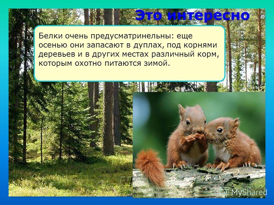Это интересно Белки очень предусматринельны: еще осенью они запасают в дуплах, под корнями деревьев и в других местах различный корм, которым охотно питаются зимой.