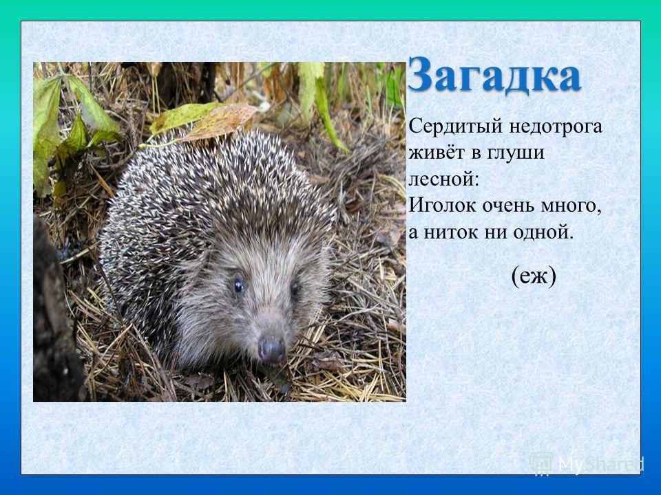 Загадка Сердитый недотрога живёт в глуши лесной: Иголок очень много, а ниток ни одной. (еж)