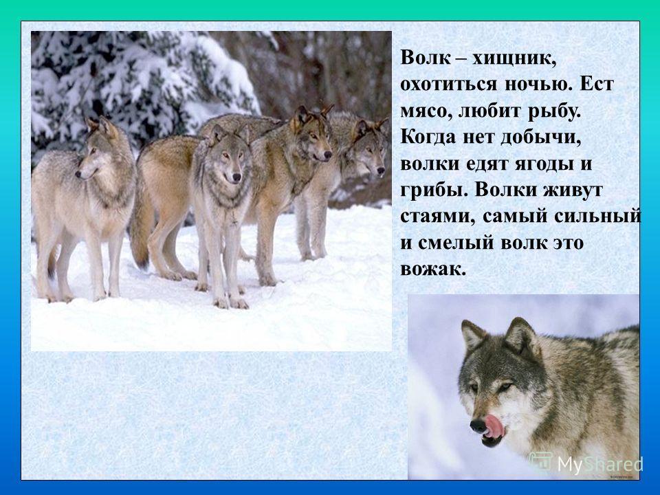 Волк – хищник, охотиться ночью. Ест мясо, любит рыбу. Когда нет добычи, волки едят ягоды и грибы. Волки живут стаями, самый сильный и смелый волк это вожак.