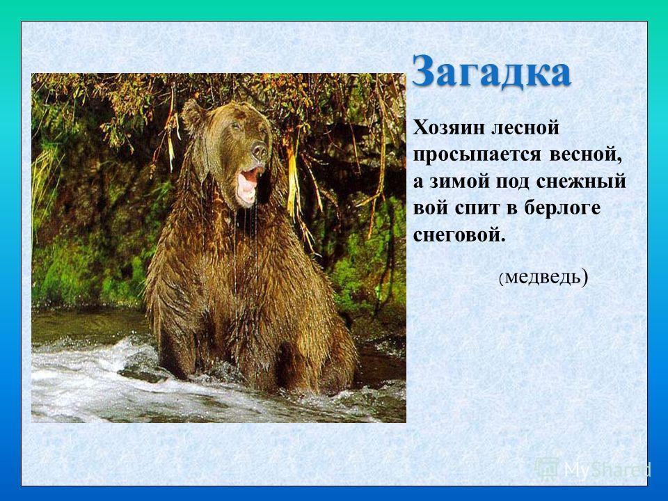Загадка Хозяин лесной просыпается весной, а зимой под снежный вой спит в берлоге снеговой. ( медведь)