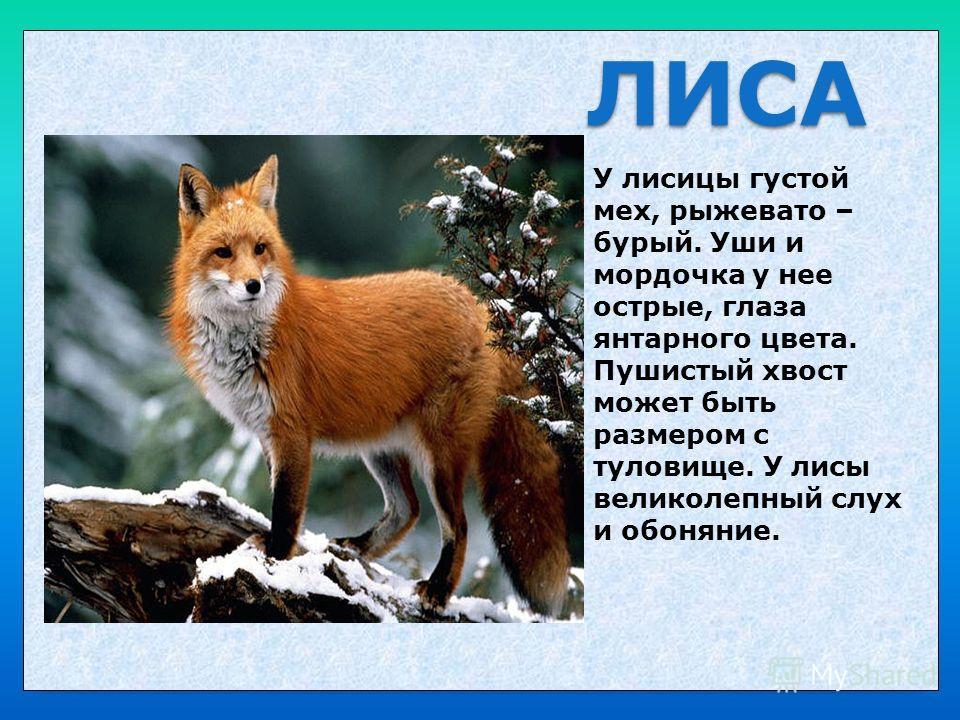 ЛИСА У лисицы густой мех, рыжевато – бурый. Уши и мордочка у нее острые, глаза янтарного цвета. Пушистый хвост может быть размером с туловище. У лисы великолепный слух и обоняние.