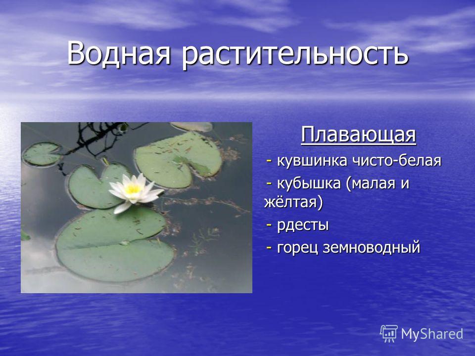 Водная растительность Плавающая - кувшинка чисто-белая - кувшинка чисто-белая - кубышка (малая и жёлтая) - кубышка (малая и жёлтая) - рдесты - рдесты - горец земноводный - горец земноводный